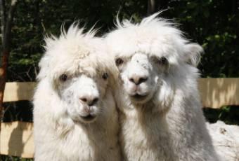 Klassenfahrtenfuchs - Klassenfahrt Rittergut - Alpakas