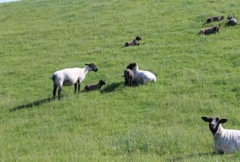 Klassenfahrtenfuchs - Klassenfahrt St. Peter Ording - Schafe am Deich