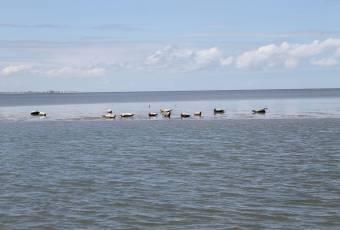 Klassenfahrtenfuchs - Klassenfahrt St. Peter Ording - Seeehunde auf einer Sandbank