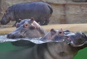 Klassenfahrtenfuchs - Klassenfahrt nach Köln - Nilpferde im Zoo